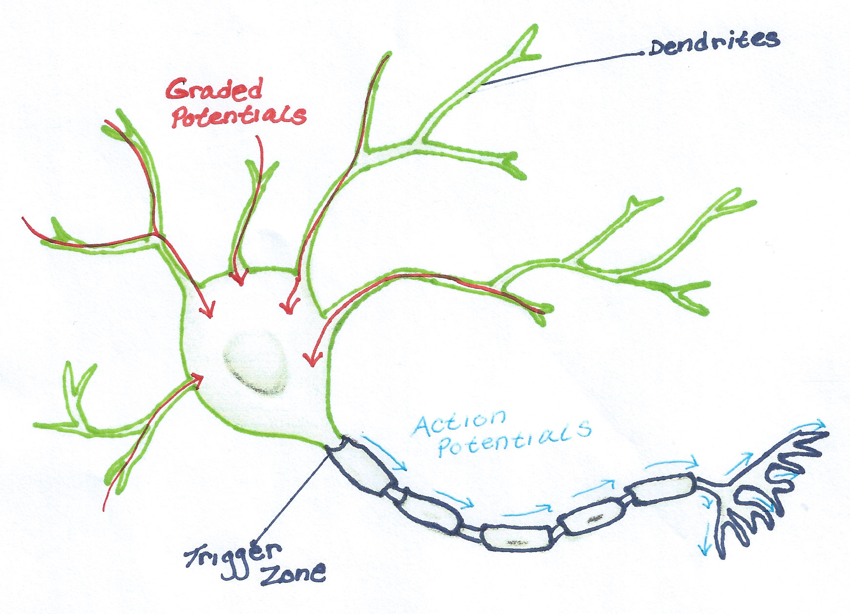 Level 3 unit 1 part 11 neuron graded potential description 31112 pooptronica Choice Image