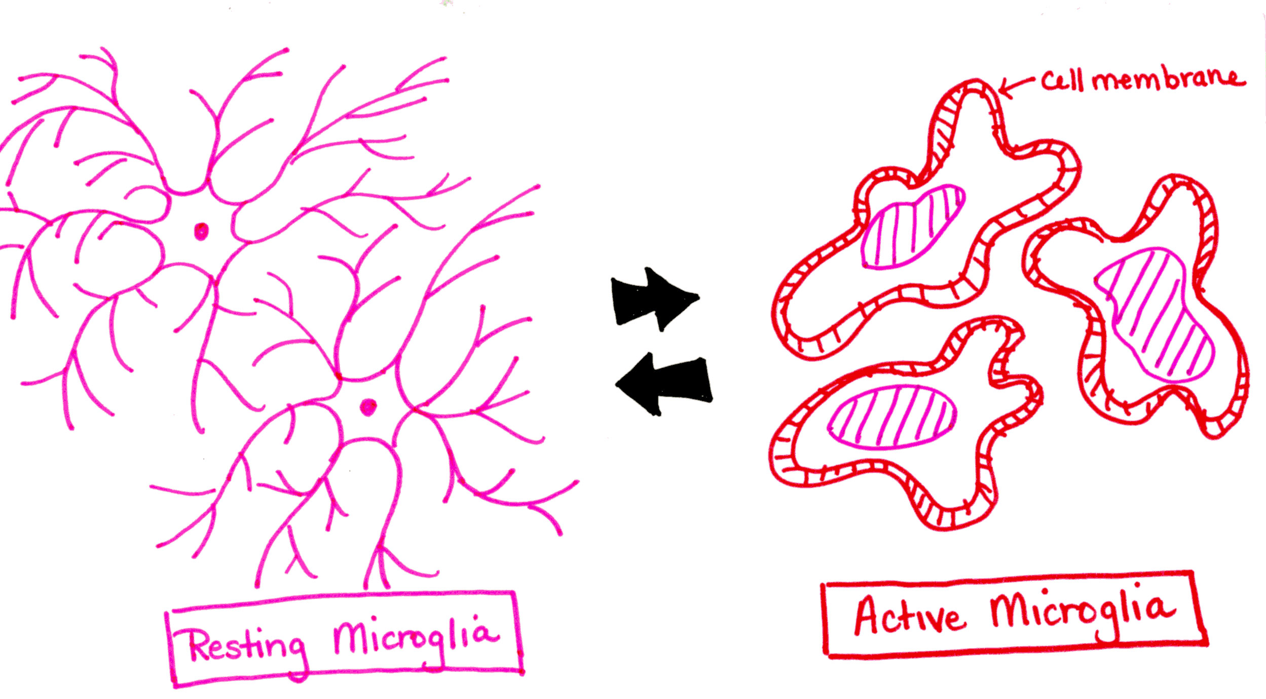 microglial and neurological disorder essay Learn more about the role of glial cells, and especially microglial  from glial  activation during acute pain3,4 this paper briefly reviews glial cells  of many  neurodegenerative and brain inflammatory diseases5 researchers.